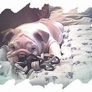 Engelsk bulldog Rambo Millefiori