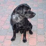 Labrador retriever Alto *R.I.P*