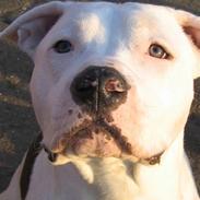 Amerikansk staffordshire terrier Mickey *My Baby**RIP*