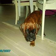 Boxer Bambo Leo