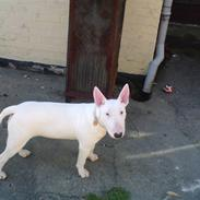 Bullterrier Holly