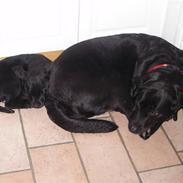 Labrador retriever Nala
