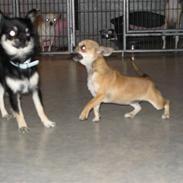Chihuahua Wav-wav's Fibi