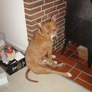 Amerikansk staffordshire terrier Ludvig