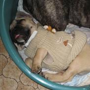 Fransk bulldog Kwark (casmiers joy)