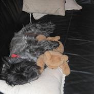 Cairn terrier Timmy