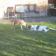 Amerikansk bulldog Samson