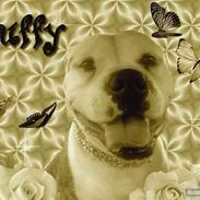 Amerikansk bulldog Margrethelund´s Tøsen