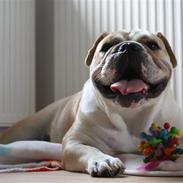 Engelsk bulldog Bertha