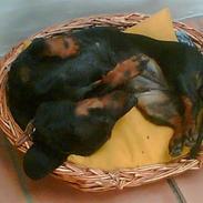Gravhund Molly