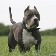 Amerikansk staffordshire terrier Xanthos R.I.P