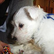 West highland white terrier Malekits Victor
