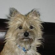 Cairn terrier Marly
