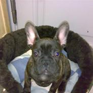 Fransk bulldog tyson