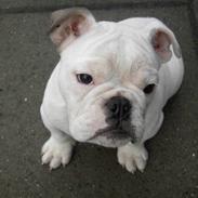 Engelsk bulldog Nala R.i.p D 22/7-2017