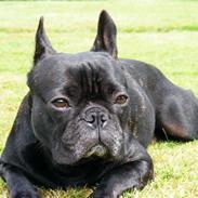Fransk bulldog Oscar aka Batmand 1