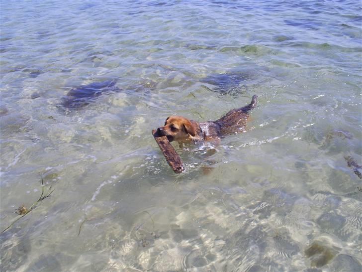 Blanding af racer Ulven Fenris - Fenris har lært at svømme med pind i munden billede 18