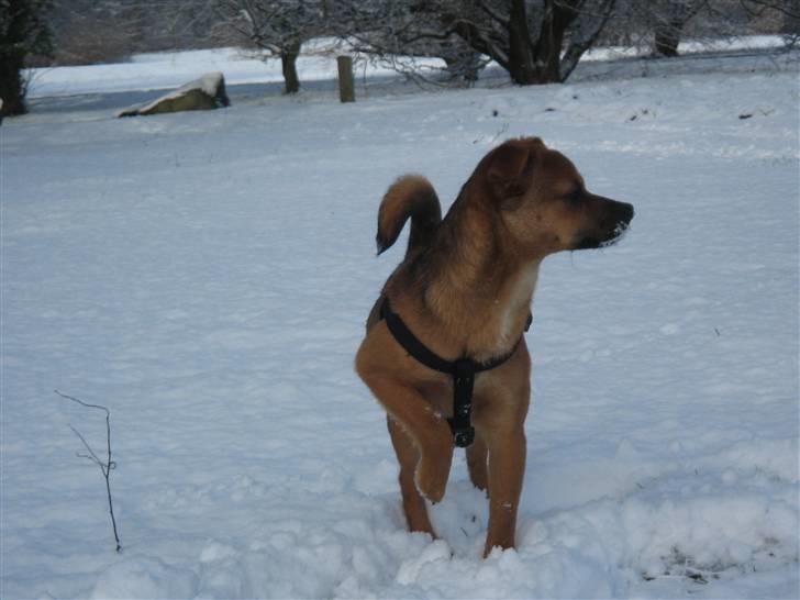 Blanding af racer Ulven Fenris - Fenris et halvt år gammel i sneen for første gang! billede 20