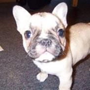 Fransk bulldog Chili
