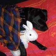 Labrador retriever Anja
