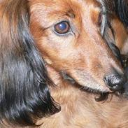 Dværggravhund * Lulu * 8 aug