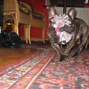 Fransk bulldog Wolfgang