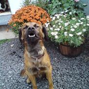 Blanding af racer Jack (græsk hund)