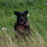 Labrador retriever Nynne ;-)