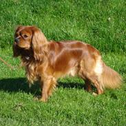 Cavalier king charles spaniel Canis