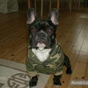 Fransk bulldog Sumo
