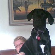 Labrador retriever Basse    *DØD*