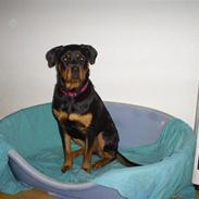 Rottweiler Shanti *R.I.P*