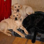 Labrador retriever Juelsgaard's Chalmer (død 2014)