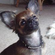 Chihuahua Malthe