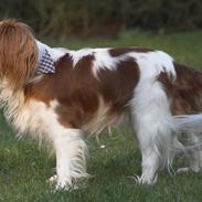 Cavalier king charles spaniel Lucky (i hundehimlen)