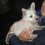 West highland white terrier Kåre