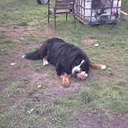 Berner sennenhund Snoopy (død)