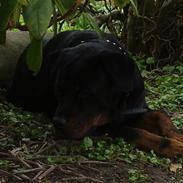 Rottweiler Tikki *bor hos x'en*
