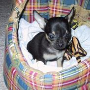 Chihuahua Speedi