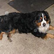 Berner sennenhund Donna Tello