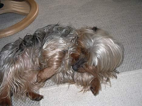 Australian silky terrier Silkyways Jubii Silk - Billeder