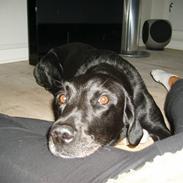 Labrador retriever Oscar
