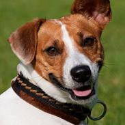Jack russell terrier Gizmo (Mr Wonky Ears)