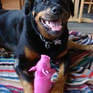 Rottweiler charlie-fik fred d.3/9 08