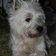 West highland white terrier Laks SOLGT
