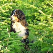 Berner sennenhund Nadia - (død 2007)