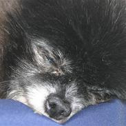 Pomeranian Pelspersonen Pølse RIP