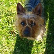 Australian silky terrier BombixMoren Akvamariiini