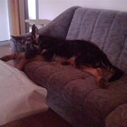 Schæferhund Kento (R.I.P 02.09.09)