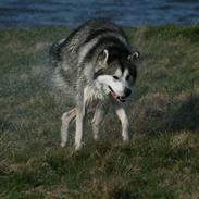 Alaskan malamute Isack (Dario Møller)